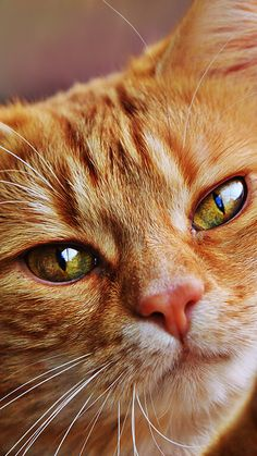 - Animal Background And Wallpaper - – Animal Background And Wallpaper - Pretty Cats, Beautiful Cats, Cute Cats And Kittens, Kittens Cutest, Orange Tabby Cats, Photo Chat, Cat Aesthetic, Ginger Cats, Domestic Cat
