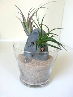 glass tillandsia air plant garden by planetillandsiastore on Etsy, $20.00