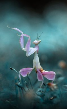 Roses orchid mantis, orchid cactus, orchid wallpaper, orchid ca. Orchids In Water, Blue Orchids, Dendrobium Orchids, Orchid Corsages, Orchid Bouquet Wedding, Bridal Bouquets, Beautiful Bugs, Animals Beautiful, Artificial Orchids