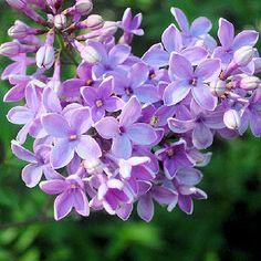 15 plantes parfumées pour embaumer le jardin : 15 fleurs parfumées pour le jardin - Journal des Femmes