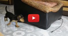 This 'Self Walking' Puppy Will Make You Laugh Out Loud!