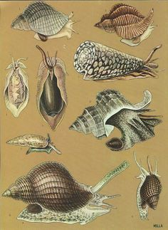 Vintage Book Plate - Gastropods / Snails / double sided / Sea Life / Pink Conch / Trumpet Shell