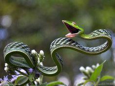 The Green vine snake
