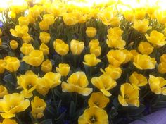Yellow tulips , spring blossom!