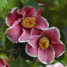 Camelia [Family: Theaceae] - Flickr - Photo Sharing!