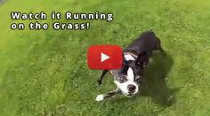 Boston Terrier Running on the Grass in Slow Motion (Video) - Watch the Video here → http://www.bterrier.com/?p=20808 - https://www.facebook.com/bterrierdogs