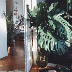 M O N S T E R A M O N D A Y  I'll cut my monstera last Sunday and she is getting already roots in my favorite Vase from @menu  . . . . . #berlin #kreuzberg #altbau #midcenturymodern #midcentury #urbanjungle #thebotanicalapartment #plant #plants #jungle #palms #philodendron #monsteramonday #monstera #interiordecor #interiordesign #interiorstyling #inspiration #interior #interiors #interiorinspo #deco #ad #livingroom #solebich #modern #coffeetable #tablewear #flowers #philodendron