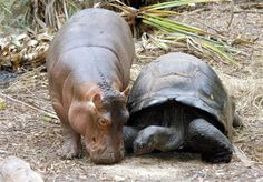 hippo and tortoise