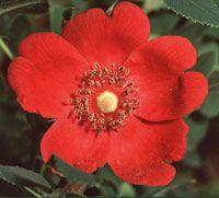 """En av de vackraste buskrosor som finns är mandarinroshybriden """"Geranium"""" med elegant växtsätt och enkla glödande blommor. Zon 6. Planer för friland 2014"""