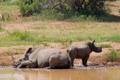 South Africa Rhino
