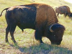 Beautiful Buffalo!  The Native Americans used every piece of the buffalo.  The Buffalo represents abundance.  White Buffalo Calf woman was a prophet who came to help the Lakota people.