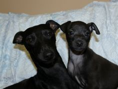 Italian Greyhound (Sighthound) breeder in Europe Sunnymoon Place. You could buy Italian Greyhound puppy here. Italian Greyhound Puppies, Greyhounds, Black Boys, Puppies For Sale, Places, Dogs, Animals, Italian Greyhound, Black Kids