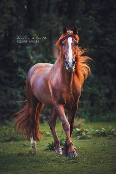 Beautiful PRE dressage horse