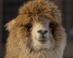 alpaca- this face....