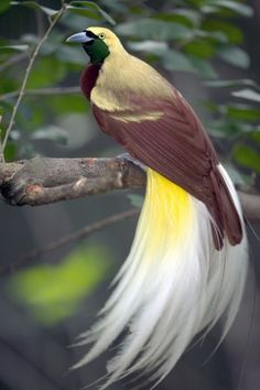 "See birds of paradise in the jungles of Papua New Guinea - ""the holy grail for birdwatchers"". Spot a variety of other birds living here, such as the azure kingfisher, great-billed heron and channel-billed cuckoo."