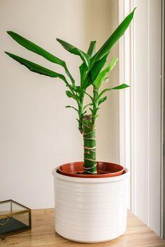 Corn plants (Dracaena fragrans) are broadleaf evergreen trees that are popular houseplants. Learn the best methods to grow healthy indoor plants. Indoor Plants Diy, Garden Projects, Mass Cane Plant, Plant Life, Dracena, Indoor Plants