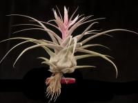 Tillandsia Species Lucille