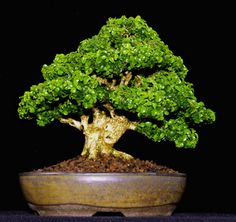 JP: Kingsville Boxwood (Buxus microphylla compacta var. Kingsville) Height: 7.25 inches, 18.41 cm Boxwood Bonsai, Buxus Sempervirens, Tiny World, Ficus, Ikebana, Trees To Plant, Herbs, Nature, Gardening
