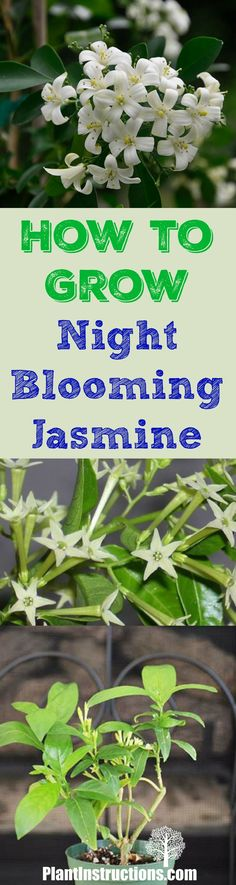 Learn how to grow night blooming jasmine...step by step instructions for an amazing smelling garden!