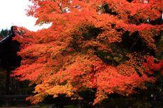 紅葉 西明寺 高画質 写真 京都 槇尾