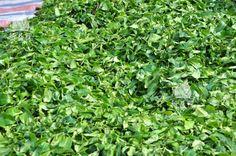 Jasmine Tea, Flower Tea, Herbs, Flowers, Plants, Herb, Plant, Royal Icing Flowers, Flower