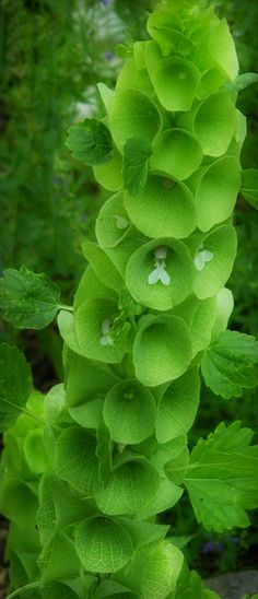 Bells of Ireland - An annual in our area, but an unusual plant to have in the garden. I quite like them.