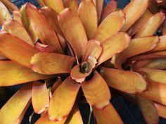Portea alatisepala (orange foliage) Bromeliad from Paradiso Tropic Nursery sold for $19.95. http://paradisotropic.com