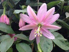 Passiflora tumbo