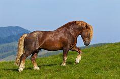 Noriker Stallion Walking Through Pasture In Austria