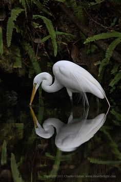 Great Egret with reflection    Charles Glatzer December 19, 2011
