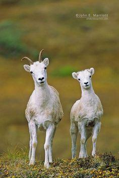 Dall's sheep ewe and lamb, Yukon Territory, Canada ~by John E Marriott