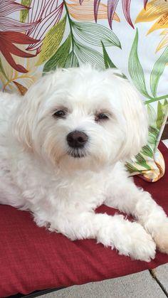 Maltese Puppy Dog Bentley