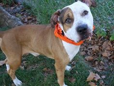 GONE --- TO BE DESTROYED - 09/27/14 Manhattan Center - P   My name is MOSES. My Animal ID # is A1014727. I am a male brown and white amer bulldog and pit bull mix. The shelter thinks I am about 5 YEARS old.  I came in the shelter as a STRAY on 09/20/2014 from NY 10037, owner surrender reason stated was OWNER DIED. https://www.facebook.com/photo.php?fbid=875726902440190