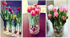 Growing Tulips Indoors: Steps to Forcing Tulip Bulbs
