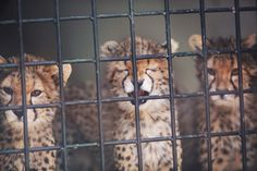 Wild cats aren't meant to be collared. See these beautiful baby cheetahs romp outside at their new home on an animal sanctuary after being rescued from the exotic pet trade.