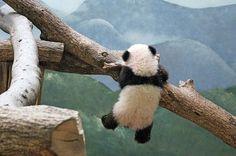 Funny panda swinging from a tree. Little Panda, Panda Love, Cute Panda, Red Panda, Panda Panda, Animals And Pets, Baby Animals, Funny Animals, Cute Animals