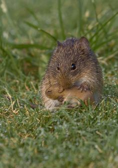 is that a wild hamster? anyway, CUTE. Hamsters, Rodents, Animals And Pets, Baby Animals, Cute Animals, Wild Animals, Beautiful Creatures, Animals Beautiful, Little Critter