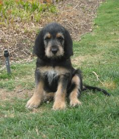 Otterhound puppy named Bella. She is so beautifully serious.