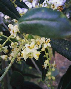 Takto v těchto dnech kvetou Luigiho sady, ze kterých na podzim vznikne skvělý Bio olej...  #BioDiVito