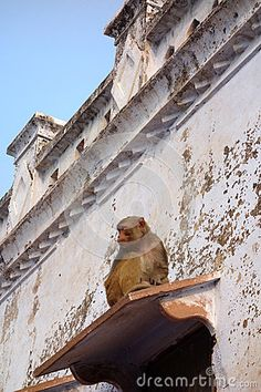 Photo about A Macaca Monkeys sit a top a window overhang of an old temple in Govardhan North India. He curls up to keep warm in the winter air. Image of long, body, beautiful - 69520223 Macaque Monkey, North India, Warm In The Winter, Keep Warm, Monkeys, Bald Eagle, Temple, Curls, Window