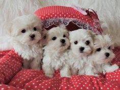 Intelligent Cavapoo Puppies Available
