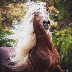 KA Damascus (Makhnificent KA {Makhsous x Star Bint Hafiza by Ibn Dahman} x Rahimah KA {RA Jahim x KA Sultan Raqwa by Raquin RA} 2008 flaxen liver chestnut SE stallion bred by Kehilian Arabians, Texas Beautiful Arabian Horses, Most Beautiful Horses, Majestic Horse, All The Pretty Horses, Animals Beautiful, Egyptian Arabian Horses, Horse Hay, Horse Love, Horse Girl