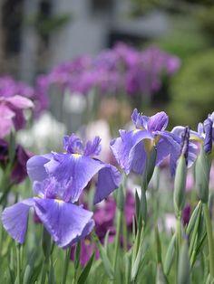 iris 2016堀切菖蒲園