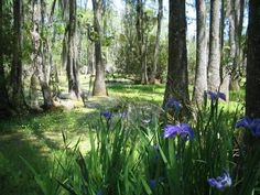 Swamp Iris at Magnolia Plantation and Gardens