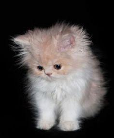 How to Care or Newborn Kittens or Raise an Orphaned Kitten