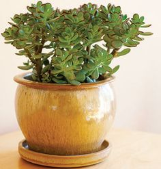 Jade plant Bright, indirect light all year and little water. As a general rule for all houseplants, water when the top 20 percent of soil is dry.