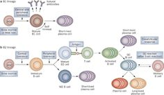 B1 and B2 B cell lineages seem to be independently regulated and undergo tightly controlled developmental processes.