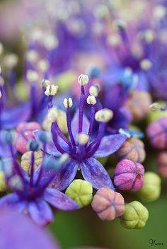 """hydrangea close-up """