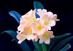 Victor's Baby   http://www.facebook.com/pages/Murillos-Exquisite-Clivias/380778435273257