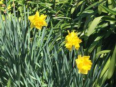 Daffodils Daffodils, Garden, Flowers, Plants, Photos, Ideas, Garten, Pictures, Lawn And Garden